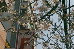 Fukuhara Sakura Street (miho's dad) Tags: carlzeisssonnart2885aeg contaxrx fujicolorc200