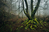 Winter's end II (J C Mills Photography) Tags: peakdistrict uk england mist fog woodland tree beech moss roots landscape