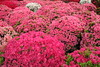 pink azaleas. (cate♪) Tags: azalea