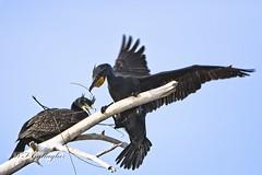 Double Crested Cormorants Nest Building (wfgphoto) Tags: doublecrestedcormorants nestbulding tree branches nest wings sticks
