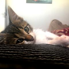 Sleepy kitten (rjmiller1807) Tags: fosterkitten kitten kitty cat meow luna sweet cute sleepy iphone iphonography iphonese adoptdontshop adoptarescue 2017 december pet