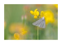Les petites betes de l'aqueduc-1513125A1513 (helenea-78) Tags: macro nature papillons insectes