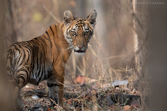 THE DURGA CUB (Wild.Water.Woods) Tags: indianwildlife indianforests tiger pench madhya pradesh cubs wildlife panthera tigress savethetiger wildlifephotography