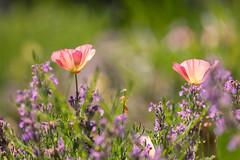 Colorful California Poppies (mclcbooks) Tags: flower flowers floral californiapoppies californiapoppy denverbotanicgardens colorado colorful