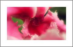 079 of 365 - Soft (Weils Piuk) Tags: photoblog365 flower soft delicate pink blur out focus light velvety petals nature closeup macro microcosm micro vulva pollen