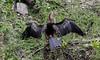 05-30-18-0020463 (Lake Worth) Tags: animal animals bird birds birdwatcher everglades southflorida feathers florida nature outdoor outdoors waterbirds wetlands wildlife wings