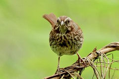 Common Bird - Many Songs - Song Sparrow (kenyoung3) Tags: melospizamelodia songsparrow sparrow deltabccanada commonbirds