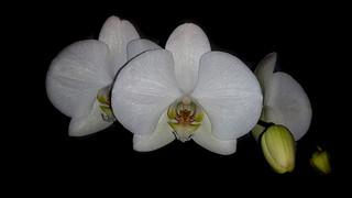 Phalaenopsis blanca