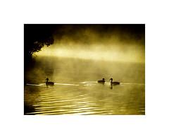 Golden morning on the lake (jen 3163 (OFF for a while)) Tags: ducks jellspark fog sunlight birds