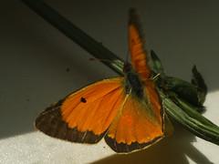Colias myrmidone ♂ - Danube clouded yellow (male) - Ракитниковая желтушка (самец) (Cossus) Tags: coliadinae colias pieridae белянка желтушка 2015 раздоры