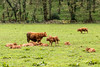 The Calf Nursery (Keith in Exeter) Tags: calf cow animal young nursery herd grass field fence woodland landscape farm killerton devon nationaltrust