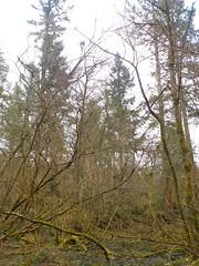 black covert, trawsgoed (christopherjohn.adams) Tags: wales ceredigion trawsgoed nature