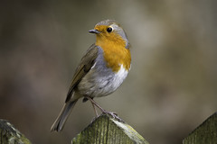 On the Fence (Rob Blight) Tags: robin europeanrobin bird wild wildlife songbird fence fauna nikond850 d850 200500 200500mm rotkehlchen