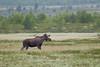 Elg - Moose.jpg (Robert Fredagsvik - Norway) Tags: norway dovre fokstumyra elg moose animals mountain dyrnorge animalsnorway tiere norwegen norge tierenorwegen norwegiannature canon