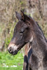 Indoctro (René Maly) Tags: renémaly horse foal veulen paard arabofries arabofriesian englishthoroughbred