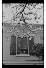 P60-2018-005 (lianefinch) Tags: argentique argentic analogique monochrome blackandwhite blackwhite bw noirblanc noiretblanc nb analog jardin garden hiver winter snow neige frozen gelé branche maison house