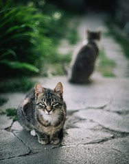 On the alert :D (Pavel Valchev) Tags: fdn canon 50mm apscc a6300 ilce sony mf manual bokeh cats street nex lens focus