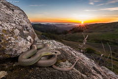 Western Yellow-bellied Racer (Coluber constrictor mormon) (Chad M. Lane) Tags: wildlife wildlifephotography wideangle exploring reptiles reptile rock r1kit tamron travel tamron1530mmf28vc outdoors animals animal awesome snakes sb800 snake d810 fieldherping fullframe greatoutdoors herps herping hiking herpetology lighting california californiawildlife californiaherps beautiful nikon nikond810 naturephotography mothernature mountains santacruzmountains sanmateocounty sanmateo westernyellowbelliedracer
