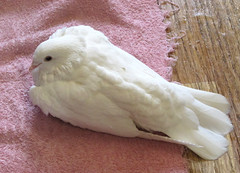 Time to dry out. (the.haggishunter) Tags: pet tame pigeon dove white home