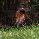 Lift with your little bird legs. Turdus Migratorius thumbnail