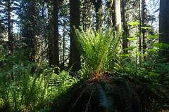 Ferns (Sean Munson) Tags: mountbakersnoqualmienationalforest mtbakersnoqualmienationalforest nationalforest washington hiking fern ferns
