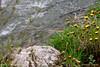 Near the river (srkirad) Tags: flowers spring river outdoor gradac valjevo serbia srbija trekking walk hiking rapids stone grass rock green cloudy travel dandelion dandelions