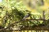 Chickadee (Vegan Butterfly) Tags: outside outdoor nature trail whitemud ravine reserve edmonton alberta animal bird chickadee beautiful cute adorable wildlife trees branches