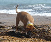 Truffle Pig (andreboeni) Tags: reba boxer dog chien hund perros hunden dogs chiens beach sea