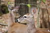 White-tailed deer (bkjones857) Tags: deer whitetail whitetailed animal woods forest nature trees outdoors wildlife park battleground