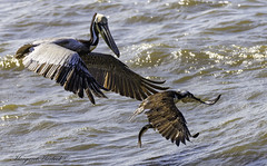 Pelican trying to steal (Margaret Harbeck) Tags: pelican nature photography osprey shad fish