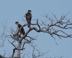 _DSC2523-editCC (Dave Krueper) Tags: africa southafrica birds birding bird raptor