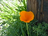 California poppy 3 27 18 (safoocat) Tags: fz150