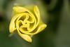 Datura sp. (NakaRB) Tags: magnoliopsida solanales solanaceae datura 2014