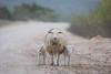 Traffic Jam (gseloff) Tags: ewe lamb sheep backroad calicheroad gravel rural dolancreekroad lomaalta valverdecounty texas gseloff