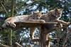 Lynx (ruemer-photography) Tags: lynx luchs