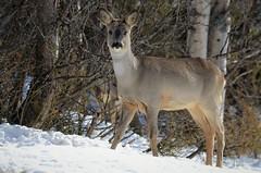 """ follow the leader ""..... (KvikneFoto) Tags: rådyr roedeer natur norge hedmark kvikne snø snow winter vinter nikon tamron bokeh"