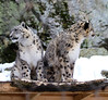 Looking the other way (nhpanda (always trying to catch up....)) Tags: zoonewenglandstonezookirasnowleopard himal snow leopard specanimal