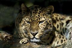 Amur leopard (ucumari photography) Tags: ucumariphotography amur leopard pantherapardusorientalis animal mammal jacksonville fl florida zoo march 2018 dsc2110 specanimal