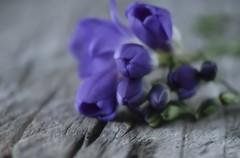 High contrast (pasquale di marzo) Tags: flower fiore fresia colore legno interno macro aprile 2018