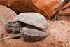Mohave Desert Tortoise (DevinBergquist) Tags: deserttortoise mohavedesert mojavedesert tortoise turtle utah ut stgeorge redcliffsdesertreserve redcliffsreserve desert herping fieldherping wildlife nature