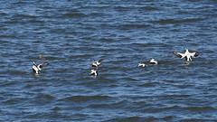 Eiders (Dr Wood's Wildlife Photos) Tags: eider somateriamollissima eideràduvet eiderdum eiderente edredone ederfugl eidereend haahka πουπουλόπαπια ærfugl edredon lachmhòr ejder musselburgh duck