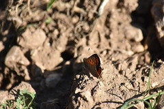 Lycaena phlaeas (esta_ahi) Tags: olèrdola penedès barcelona spain españa испания mariposa papallona butterfly lepidoptera insectos fauna lycaena phlaeas lycaenaphlaeas lycaenidae