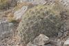 CAE011024a (jerryoldenettel) Tags: 180331 2018 cactaceae caryophyllales coreeudicots echinocereus echinocereusstramineus highrolls nm oteroco strawpilehedgehog cactus hedgehog