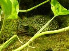 Jardin des Plantes: Ménagerie: toad: Rhinella schneideri (John Steedman) Tags: jardindesplantes フランス france frankreich frankrijk francia parigi parijs 法国 パリ 巴黎 ménagerie crapaud rhinellaschneideri toad kröte