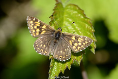 Duke of Burgandy (Ralph J Clark) Tags: dukeofburgundyfritillary butterfly noarhill spring sigma105mmf28exdgmacroos