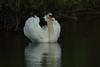 Mute swan (david.england18) Tags: muteswan cygnets locallake juveniles feed hatching canon7dmkll canonef300mmf4lisusm birdsuk