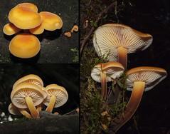 Flammulina velutipes (zeke1944) Tags: melbourne victoria australia flammulina flammulinavelutipes physalacriaceae arfp vrfp wetsclerophyllaf mixedafarffungi brownarffungi orangearffungi cooltemperatearf