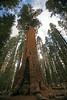#SC08536 (waubrey_art) Tags: sequoia