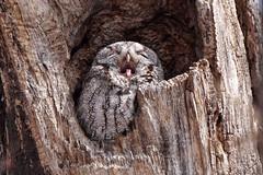 Yaaaaawn... (beyondhue) Tags: eastern screech owl sleepy yawn portrait beyondhue bird prey raptor sleep tree trunk canada spring hollow hole ottawa tongue beak