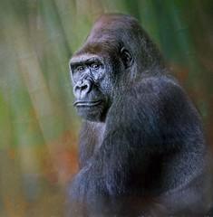Portrait Of A Lowland Gorilla (Wes Iversen) Tags: chicago gorillagorillagorilla hss illinois lincolnpark lincolnparkzoo sliderssunday westernlowlandgorilla animals gorilla mammals painterly texture nikkor18300mm bamboo